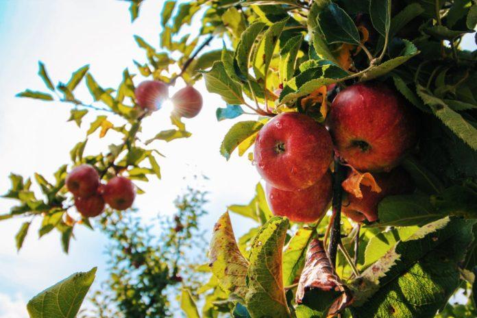 Æbler på trae